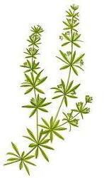 Kleefkruid medicinaal