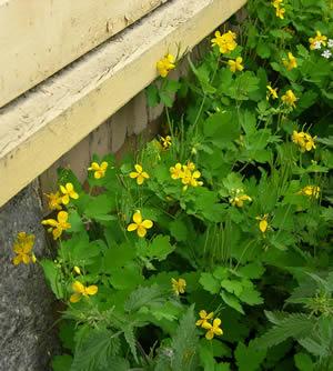 gele netel bloem